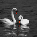 Swans Swimming Isolation by Chris Day