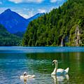 Swans  by Valerio Poccobelli