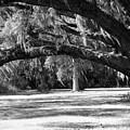 Swaying Oak  by Melody Jones