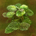 Swedish Ivy by FT McKinstry