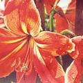 Sweet Amaryllis by Marion  Hylton