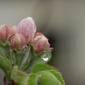 Sweet Apple Spring by Marie Leslie