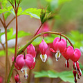 Sweet Bleeding Heart by Marilyn Hunt