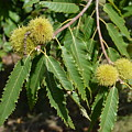 Sweet Chestnuts by David Dand
