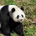 Sweet Chinese Panda Bear Sitting Down In Grass by DejaVu Designs