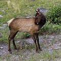 Sweet Elk Calf by Teresa Zieba