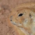 Sweet Face Of A Prairie Dog Up Close And Personal by DejaVu Designs