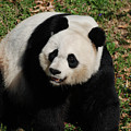 Sweet Faced Chinese Giant Panda Bear Sitting Down by DejaVu Designs