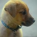 Sweet Faced Cunucu Puppy In Aruba by DejaVu Designs
