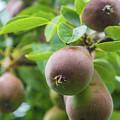 Sweet Fruit by Andrew Balcombe