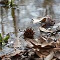 Sweet Gum Seed Pod In Mississippi Winter by Gena Koelker