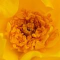 Sweet Heart Of Yellow Rose by Olga Hamilton