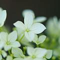 Sweet Hydrangea by Lisa Knechtel