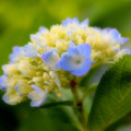 Sweet Hydrangea by Smilin Eyes  Treasures
