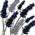 Sweet Lavender by Sarah Hough