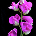 Sweet Pea by George Sanquist