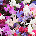 Sweet Pea Spencer Flowers by Tim Gainey