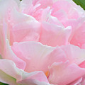 Sweet Pink Tulip by Regina Geoghan