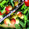 Sweet Ripe  Plum On A Branch by Jeelan Clark