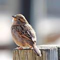 Sweet Sparrow by Angela Murdock
