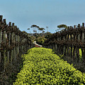 Sweet Vines by Douglas Barnard
