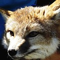 Swift Fox With Oil Painting Effect by Rose Santuci-Sofranko