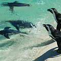 Swim Race - African Penquins by Emmy Vickers