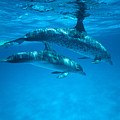 Swimming Dolphins by Ed Robinson - Printscapes