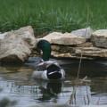 Swimming Duck by Sklndr