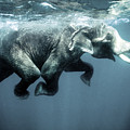 Swimming Elephant by Olivier Blaise