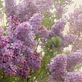 Swimming In A Sea Of Lilacs by Cindy Garber Iverson