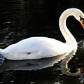 Swimming Swan by David Lee Thompson