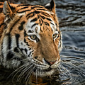 Swimming Tiger by Chris Boulton