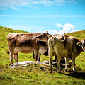 Happy Swiss Cows by Jason Yoon