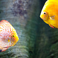 Symphysodon Discus Fishes by Arletta Cwalina