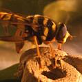 Syrphid Fly On Fossil Crinoid by Douglas Barnett