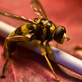 Syrphid Fly Poised by Douglas Barnett