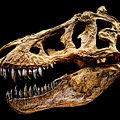 T-rex Skull by Weston Westmoreland
