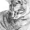 Tabby Cat In Profile Drawing by Kate Sumners