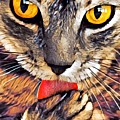Tabby Cat Licking Paw by Tarisa Smith