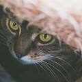Tabby Cat Looking From Beneath A Blanket  by Alexandru Handrache
