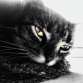 Tabby Cat Selective Color by Frances Lewis
