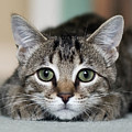 Tabby Kitten by Jody Trappe Photography