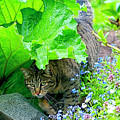 Tabby Under The Rhubarb by Sharon Talson