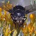 Tachinid Fly by Hazel Vaughn