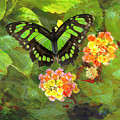 Tailed Jay Butterfly 1 by Jim Thompson