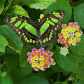 Tailed Jay Butterfly 2 by Jim Thompson