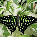Tailed Jay Butterfly #2 by Judy Whitton