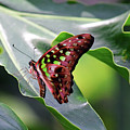 Tailed Jay Butterfly by Maria Keady