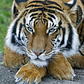 Takin A Break Tiger by Wes and Dotty Weber